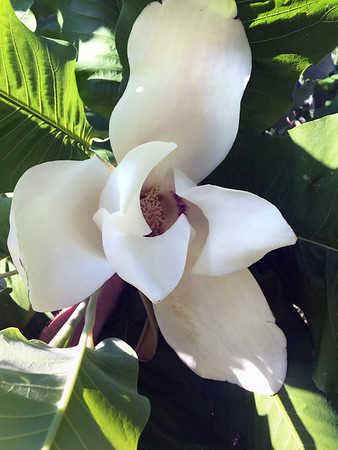 Foot-wide magnolia.