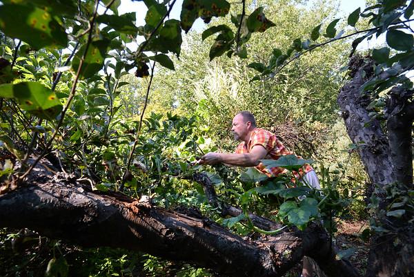BRYAN EATON/Staff photo. Late season pruning of his apple trees.