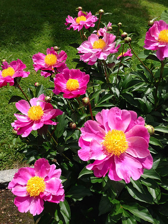 Courtesy photo. Aunt Ameila's peonies.