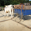 BRYAN EATON/Staff photo. Eli Bartlett practices with an oxen team last summer keeping the wheel of the wagon on the rail. He participated in many oxen contests at fairs throughout New England last summer with this team, one of which had to be euthanized earlier this year after breaking a leg.
