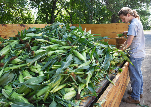 BRYAN EATON/Staff photo. Bartlett nephew Eric Crowley sorts sweet corn into bushel baskets.