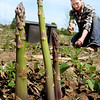 BRYAN EATON/Staff photo. Jessica Soucy harvests asparagus tips at Bartlett's Farm in Salisbury, one of the first crops of the season, which they started planting several years ago. ORG XMIT: MER1709071241418505