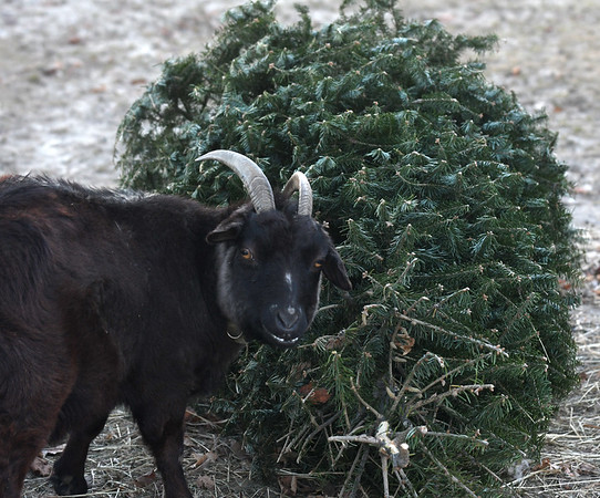 JIM VAIKNORAS/Staff photo A goat takes a break from eating a Christmas tree at the Old Newbury Christmas Tree Bonfire at the Tendercrop Farm fields and Spencer Perce-Little Farm in Newbury Saturday night.