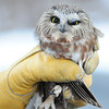 JIM VAIKNORAS/Staff photo Grace Aponas, 10, a 4th grader the Newbury Elementary school, releases a saw-whet owl from near her Byfield home. The owl hit a car on 113 in West Newbury and was rescued by Dave Taylor of Byfield and nursed back to health by the pair. January 6, 2016