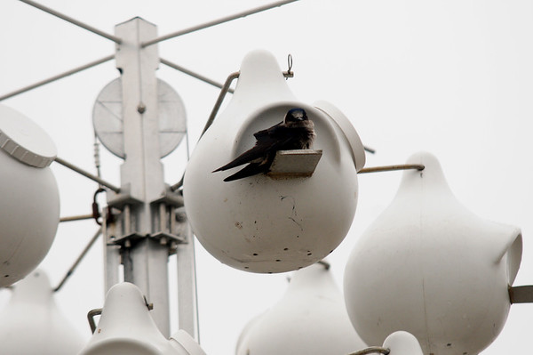 JIM VAIKNORAS/Staff photo A purple martin at a manmade nest at the Parker River Wildlife refuge