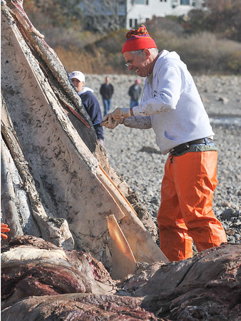 Rockport: Volunteer and teacher at Sparhawk High School, Dave Taylor removes the flesh of the Rostrum the (top jaw) of a young adult Fin whale Thursday morning at Cape Hedge Beach.    Desi Smith/Gloucester Daily Times. November 1,2012.