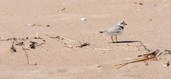 JIM VAIKNORAS/Staff photo  A piping plover walks along the beach on Plum Island.