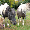 JIM VAIKNORAS/Staff photo Perri, Blue Knight and Flower at Carol Larocque's Newbury Farm.