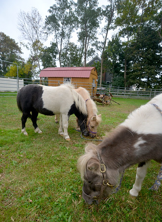 JIM VAIKNORAS/Staff photo Perri, Blue Knight and Flower at Carol Larocque's Newbury Farm.