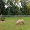 JIM VAIKNORAS/Staff photo  Perri grazes at Carol Larocque's Newbury Farm.