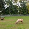 JIM VAIKNORAS/Staff photo  Perri grazes at Carol Larocque's Newbury Farm.