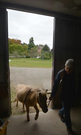 JIM VAIKNORAS/Staff photo Carol Larocque brings in Perri to the barn at her Newbury Farm.
