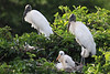 Wood storks with chick