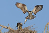 Breakfast meal for baby osprey