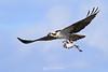Osprey with catfish