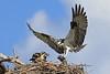 Osprey bringing in lunch