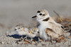 Snowy plover and chicks