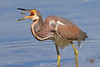 Tri colored heron (immature) and fish