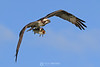 Osprey with speckled sea trout
