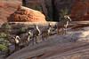 Big horned sheep, Zion National Park