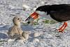 Black skimmer with chicks