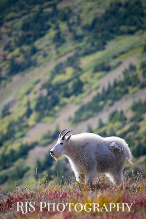 Mountian Goat in Fall