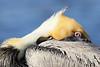 Sleepy brown pelican