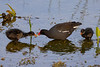 Common gallinule with chicks