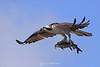 Osprey and catfish