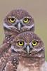 Juvenile burrowing owls