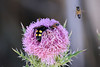 Scoliid wasp and honey bees on thistle