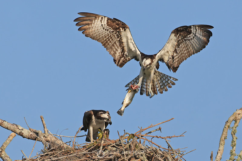 Breakfast meal for baby osprey
