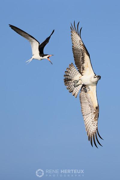 Black skimmer chasing osprey
