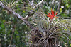 Air plant blooming