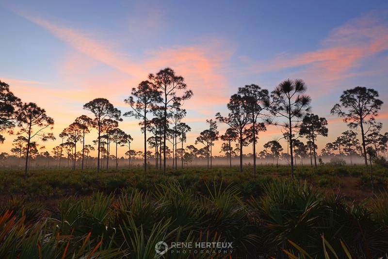 Foggy slash pine sunrise