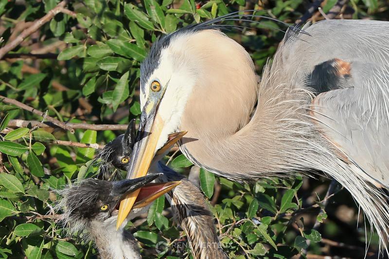 Feeding time!  Great blue herons