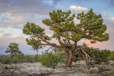 Portrait of a Ponderosa in Arid Country