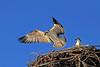 Juvenile osprey takes flight