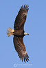 Bald eagle broadside