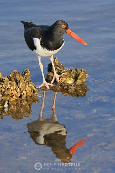 Oystercatcher reflection