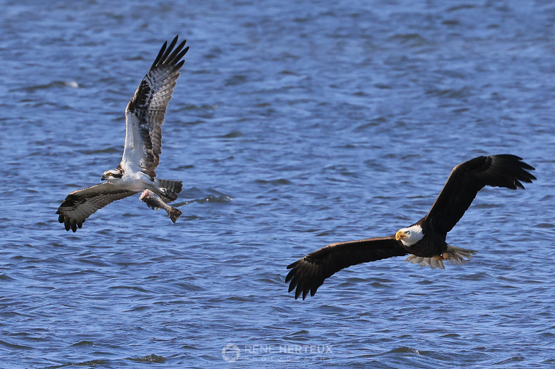 Bald eagle chasing osprey