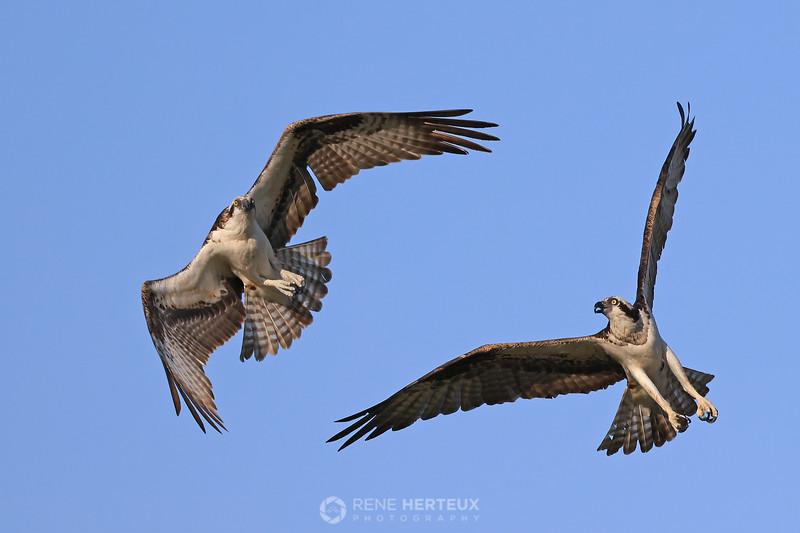 Osprey turf battle