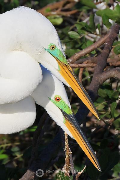 Great egret pair