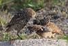 Burrowing owl baby getting fed