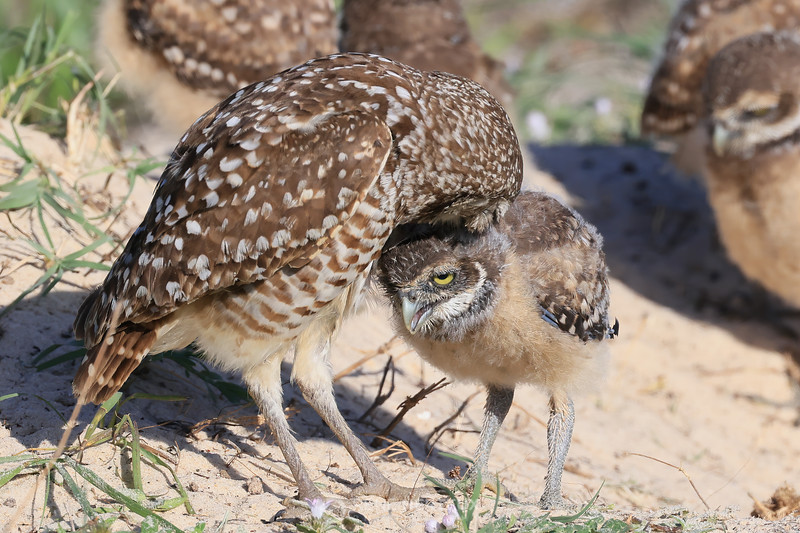 Burrowing owl baby and adult