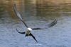 Swallowtail kite
