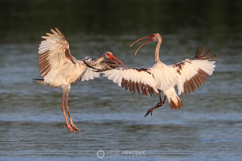 Sparring white ibis