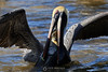 Brown pelican and snook
