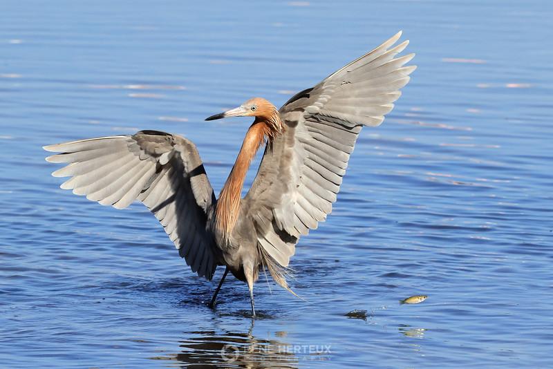 Reddish egret and fish