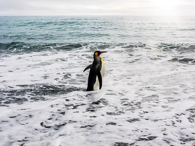 King penguin going for a swim...